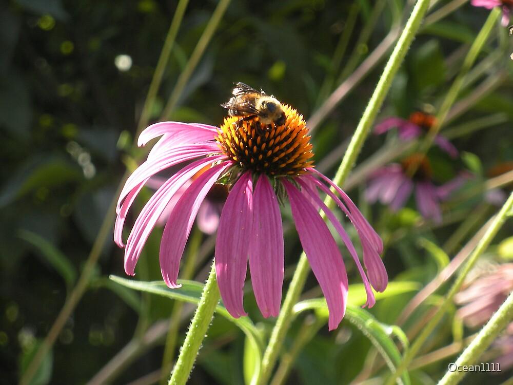 Honeybee on Purple coneflower by Ocean1111