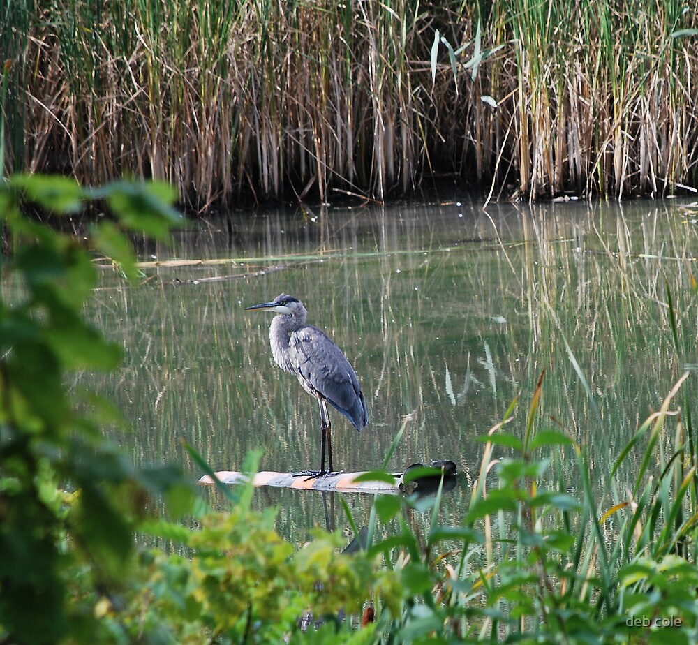 Great Blue Heron by deb cole