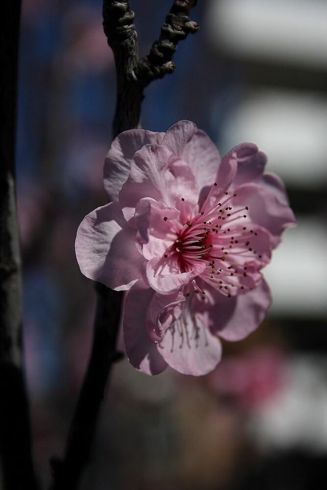 Pink Bloom by DianaC