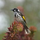 New Holland Honeyeater by randmphotos