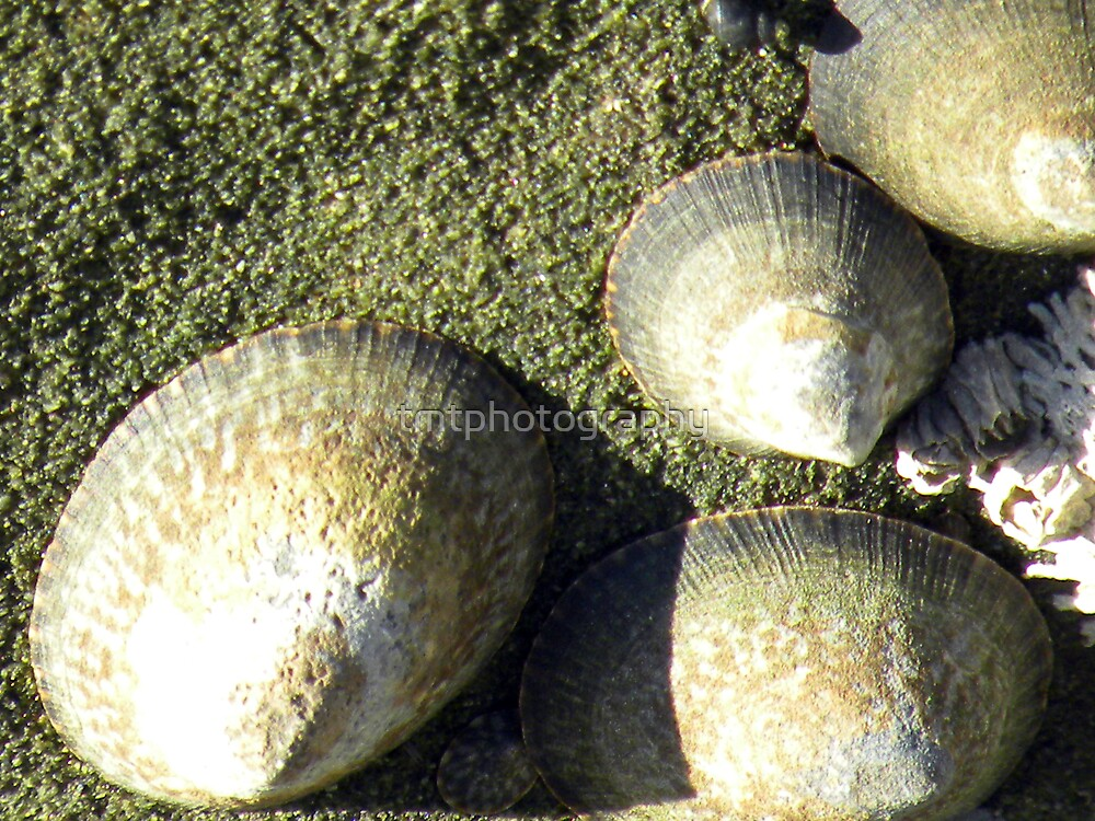 Opehe Shells by tmtphotography
