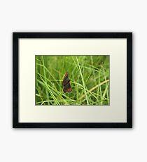 Scotch argus butterfly Framed Print