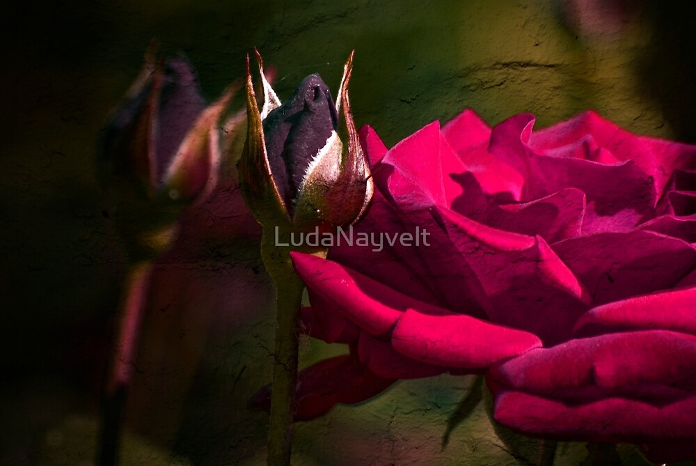 Pink Rose by LudaNayvelt