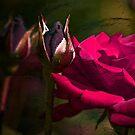 Pink Rose by LudaNayvelt