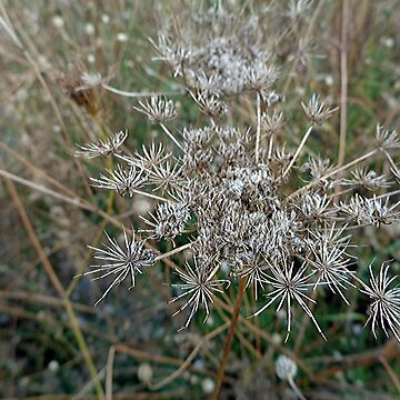 Queen Anne's lace in the autumn by beleja