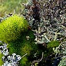 A MINIATURE WORLD OF MOSS AND LICHEN! by Elaine Bawden