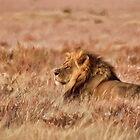 Black-Maned Lion of the Kalahari Waiting by Kay Brewer