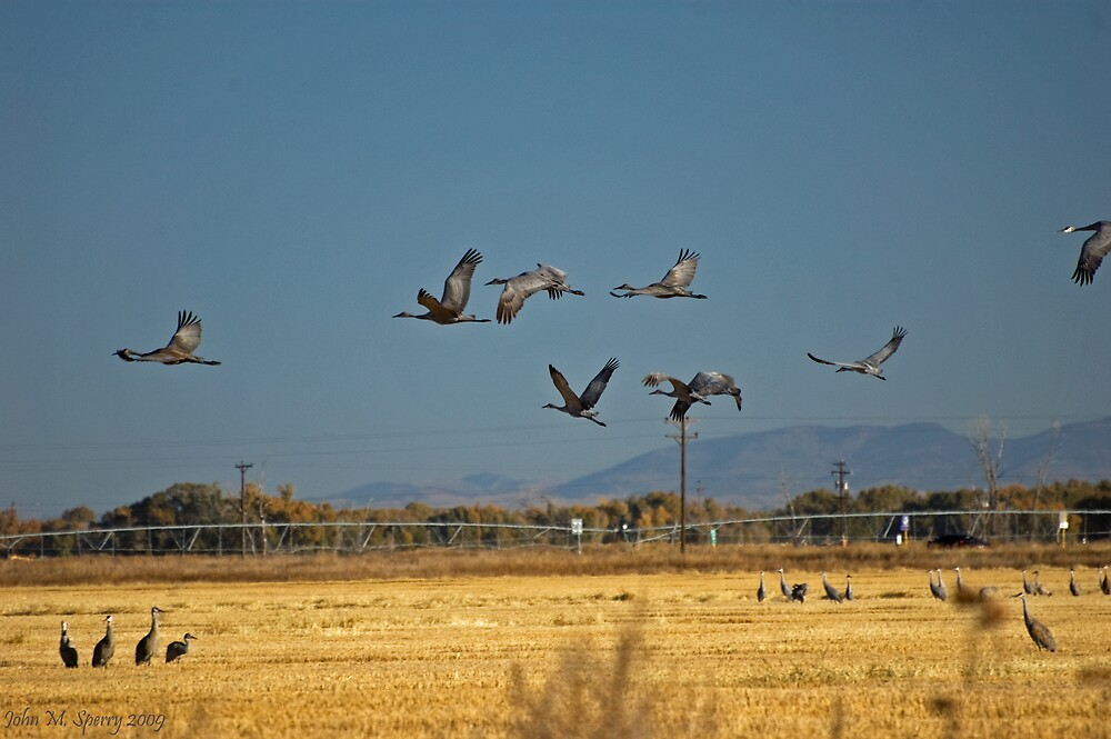 Sandhill Cranes in Flight by John  Sperry