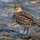Party with Pectoral Sandpipers by walkswithnature