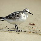 September Sandpiper by Barnbk02