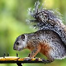 Variegated Squirrel by Carole-Anne