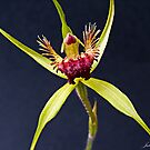 Spider Orchid by JuliaKHarwood