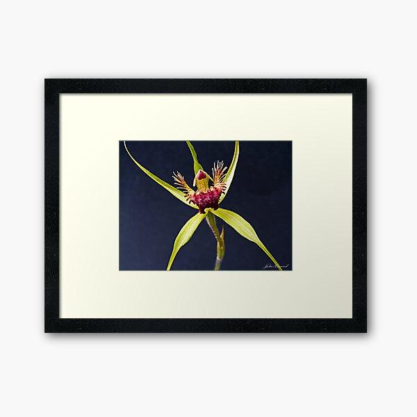 Spider Orchid Framed Art Print