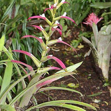 Bromeliads by Carole-Anne
