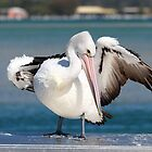 Pelican show off 03 by kevin Chippindall