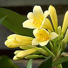Charming Clivias.........!!! by Roy  Massicks