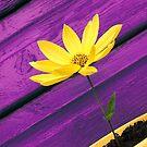 Purple Daze by David Meacham