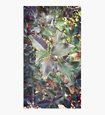 Holly Sprig Photographic Print