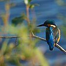 Kingfisher on Branch by kernuak