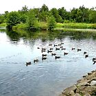 Ducks at the mill pond by jchanders