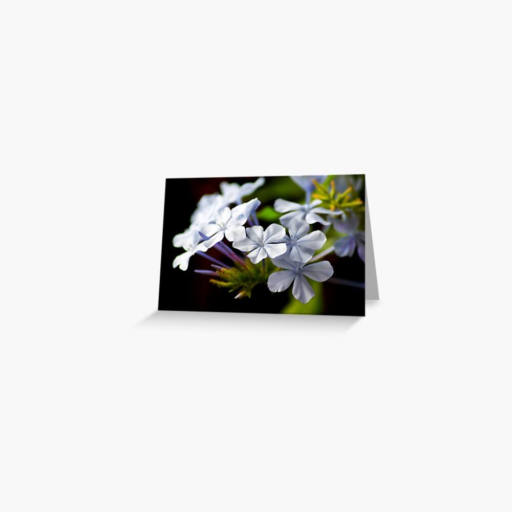 Plumbago auriculata Greeting Card