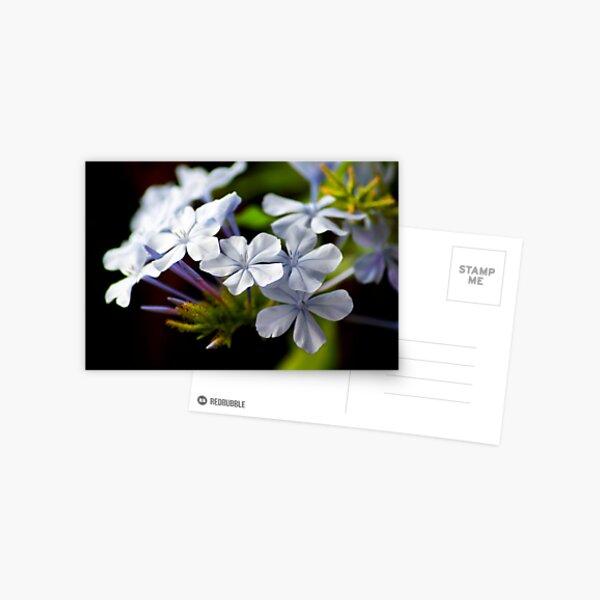 Plumbago auriculata Postcard
