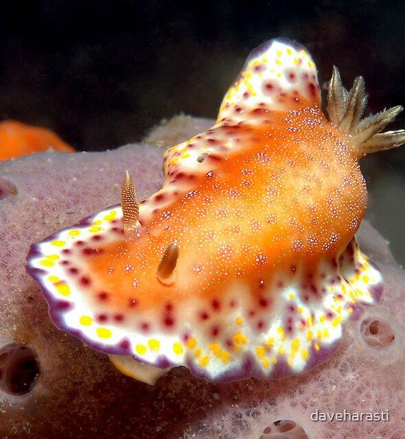 Collingwood's Nudibranch by daveharasti