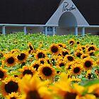 Sunflowers at Pindar Winery by John Schneider