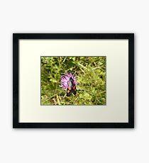 Burnet Moth Framed Print