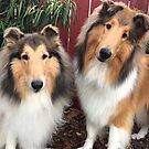 Rough Collie Buddies by Jan  Wall