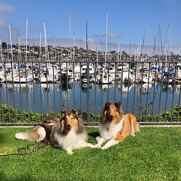 Sable Collies at Yacht Cub by jwphotos