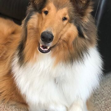 Beautiful Rough Collie  by jwphotos