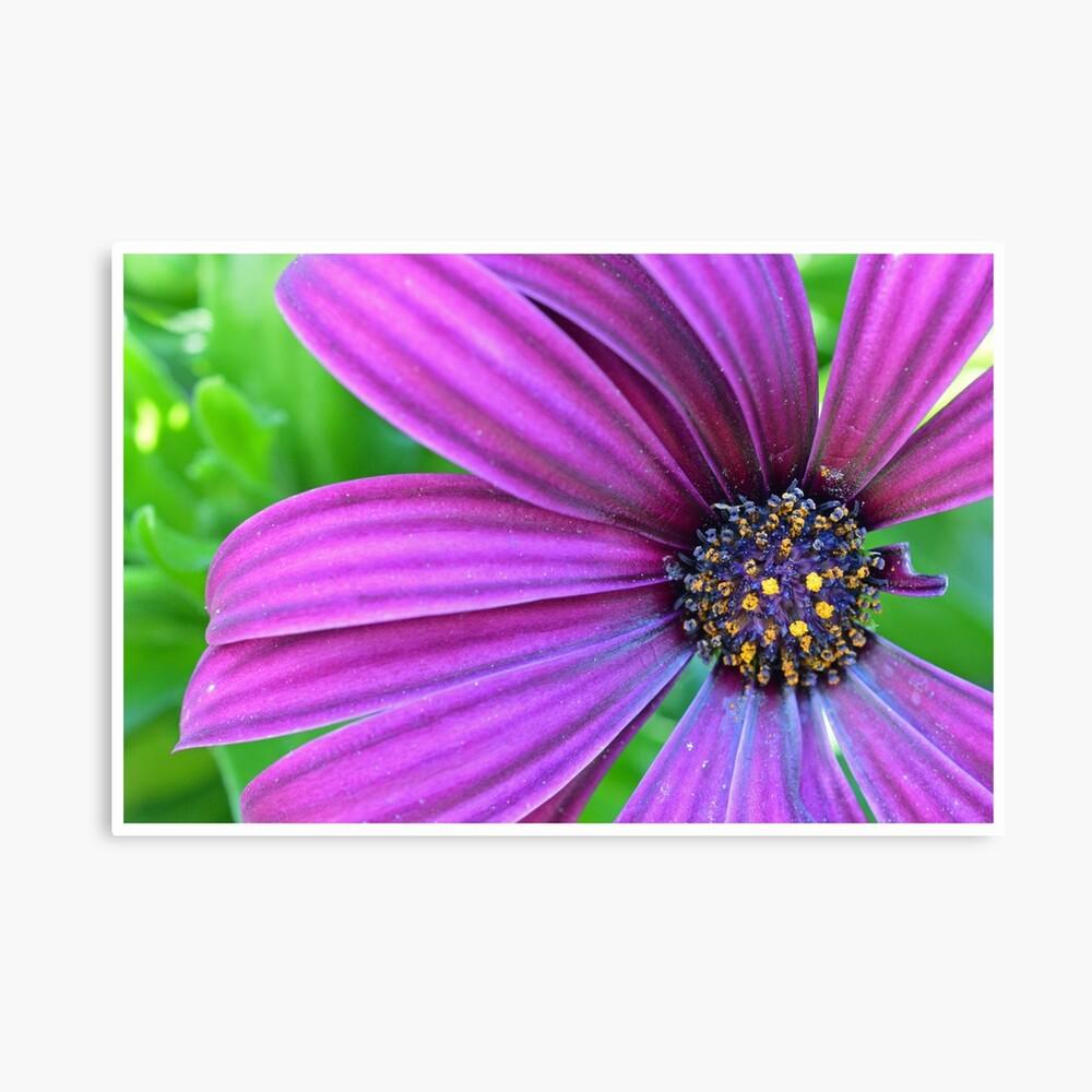 Purple Daisy Lienzo