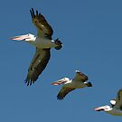 Pelicans In A Row by Jon Staniland