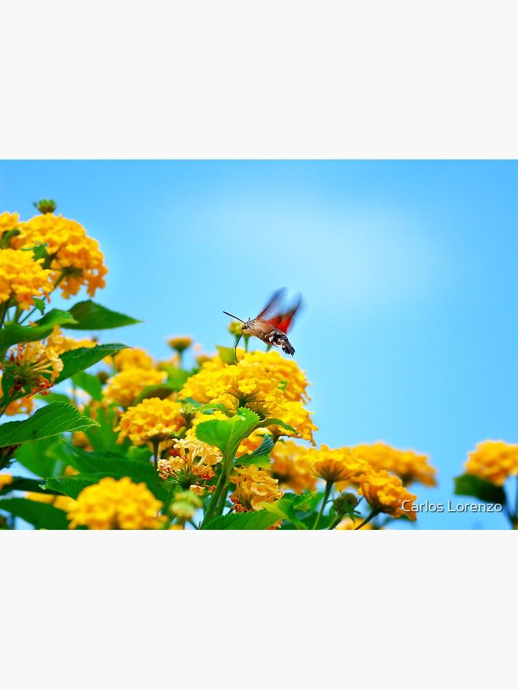 Humming Bird Moth by carloslorenzo