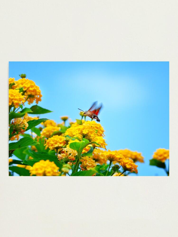 Alternate view of Humming Bird Moth Photographic Print