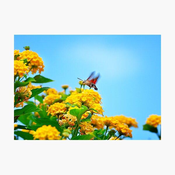 Humming Bird Moth Photographic Print