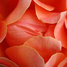 Rose Petal Abstract no.3 by Orla Cahill Photography