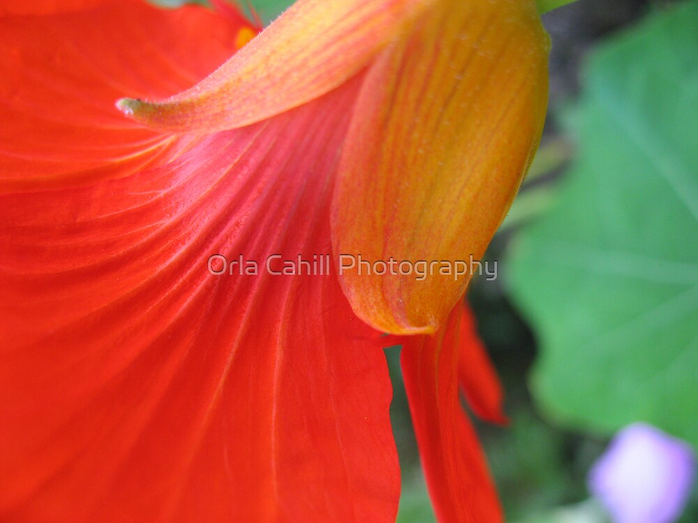 Nasturtium Abstract by Orla Cahill Photography