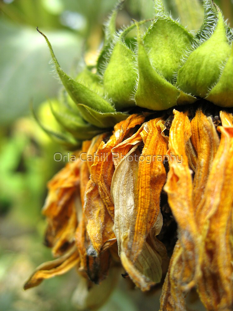 Withered Sunflower no.2 by Orla Cahill Photography