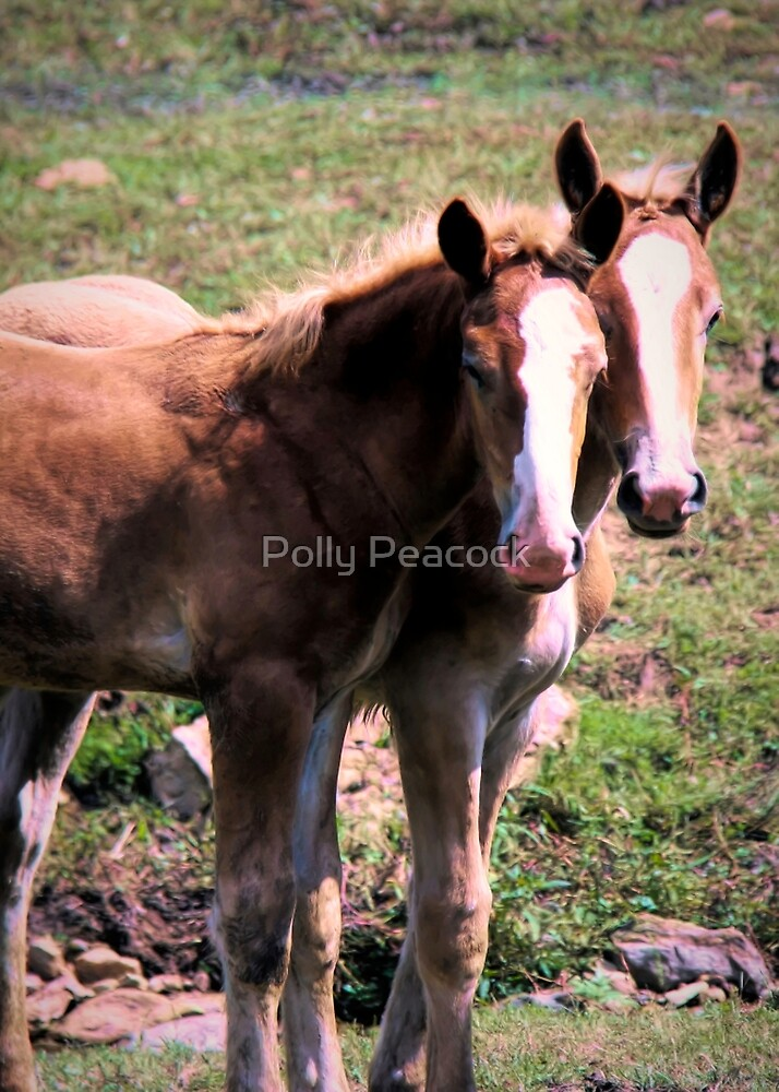 Belgian Draft Horse Foals in Lancaster County, Pennsylvania by Polly Peacock