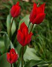 Red Tulips II by Sandy Keeton