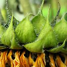 Withered Sunflower no.7 by Orla Cahill Photography