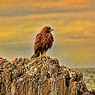 Hawk by Morris Klein