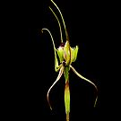 Mantis Orchid by JuliaKHarwood