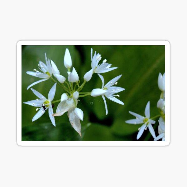 Wild Garlic ~ Ramsons (Allium ursinum) Sticker