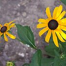 ''BLACK EYE SUSAN'S'' by WINTERROSE
