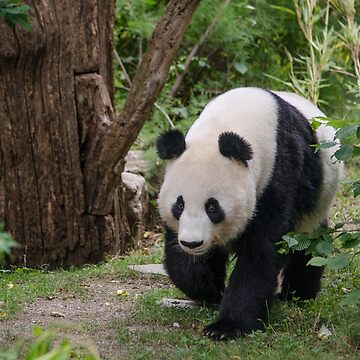 Giant panda by photosbygemmad