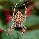 Garden Cross Spider (araneus diadematus) by AnnDixon