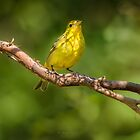 WESTERN TANAGER (FEMALE) by Sandy Hill